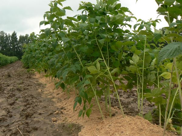 Мульчирование малины позволяет сохранить в почве влагу