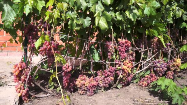 Спелые грозди винограда на лозе