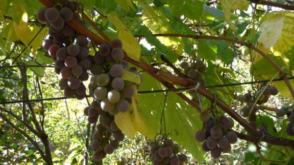 Созревающие грозди лидии на виноградной лозе