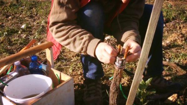 Прививка винограда в расщеп