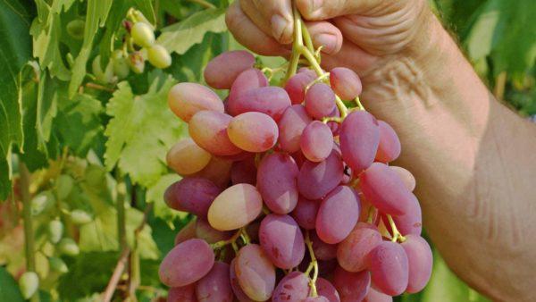 Гроздь винограда сорта юбилей новочеркасска