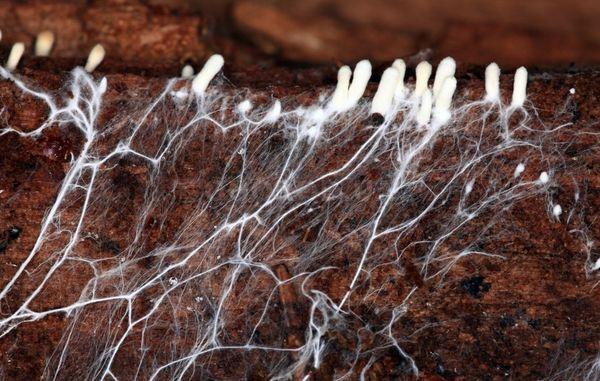 Таллом - сеть гиф, похожая на белый ватный налет