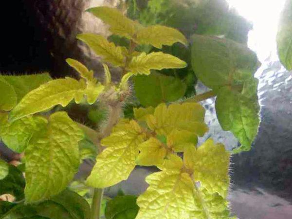 Из-за недостатка азота листья растений начинают слабеть и желтеть