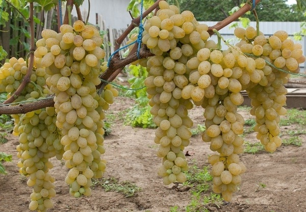 Белый виноград столового сорта