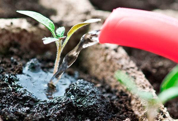 Для профилактики болезней растения поливают очень слабым раствором нашатыря