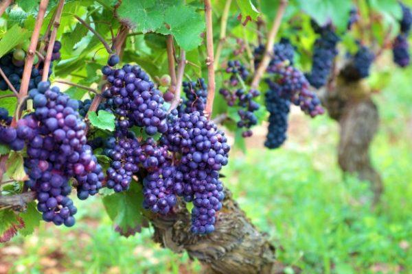 Каберне-Совиньон - идеальный вариант для виноделия
