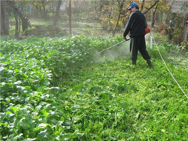 Скашивание молодой горчицы для удобрения почвы