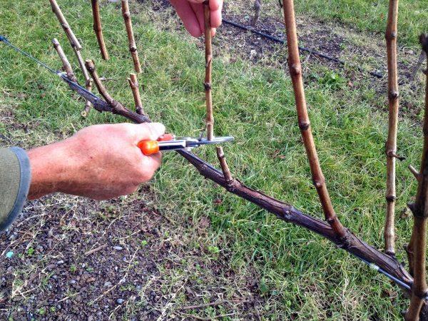 Улучшить вызревание побегов и повысить качество урожая винограда Велес можно с помощью весенней обрезки и нормировки