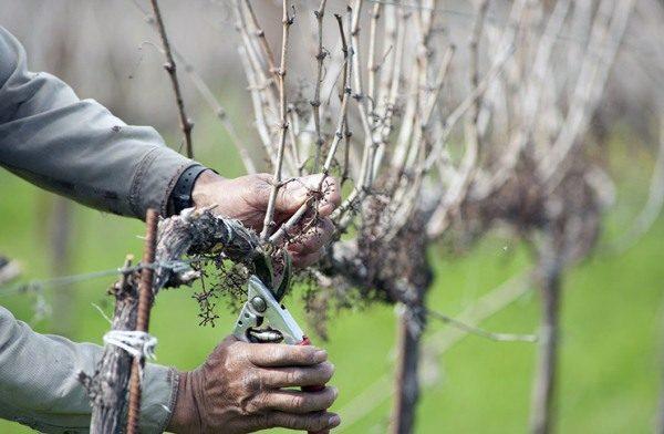 Кусты винограда нуждаются в обрезке ненужных побегов и рукавов