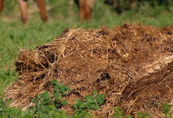 Удобрение соломистым навозом увеличивает урожайность навоза в 2 раза