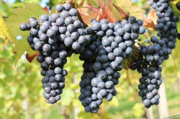 Вид черного винограда изабелла