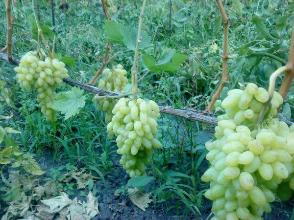 Ягоды винограда столетие на лозе крупным планом