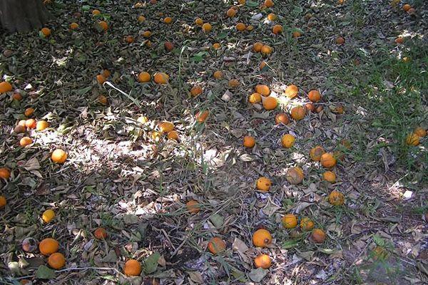 В естественной среде опавшая листва и плоды восполняют недостаток питательных элементов