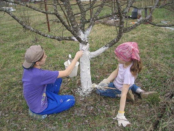 Для осеннего удобрения абрикоса может быть использован метод побелки ствола