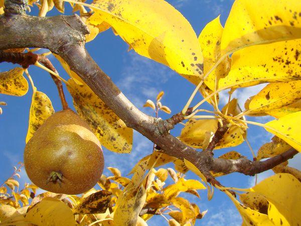 Подкормка выполняется в области предствольного круга когда треть листвы уже пожелтела