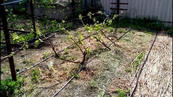 Орошать виноград можно с помощью капельного полива, либо вручную