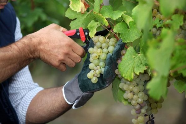 Уход за виноградом сорта шардоне