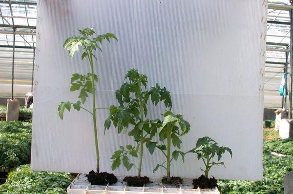 Сильно переросшие саженцы имеют высоту около 50-60 см