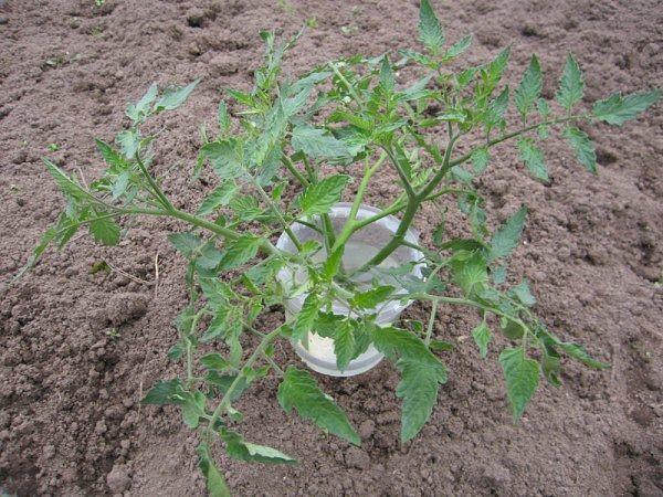 Переросшую рассаду можно разрезать напополам и выращивать дальше как 2 саженца