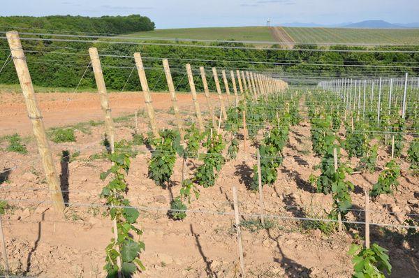 Расстояние между кустами винограда не менее 2.5 метров