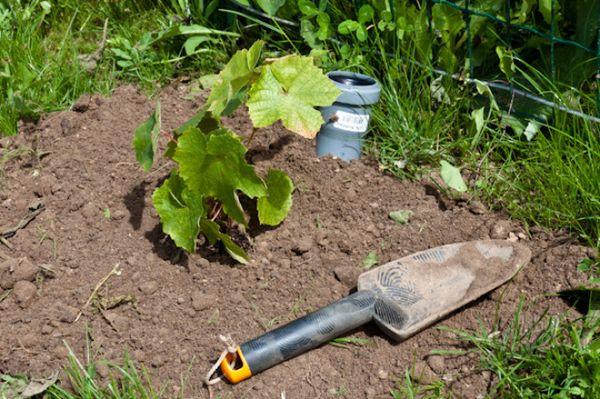 После высадки саженца винограда, нужно один раз полить его обильным количеством воды