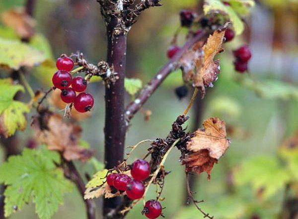 Уход за смородиной осенью