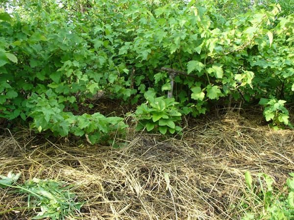 Сидераты обогащают почву вокруг смородины полезными веществами