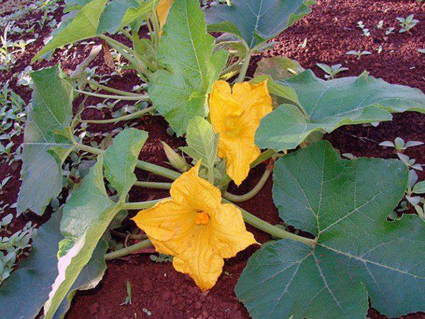 Особенно важен полив тыквы во время цветения: влага необходима для формирования женских соцветий