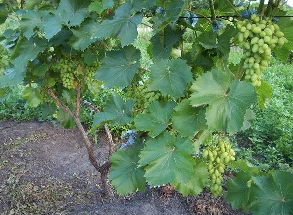 Пересадка винограда