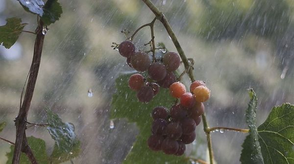 Естественный полив - один из плюсов пересадки винограда осенью