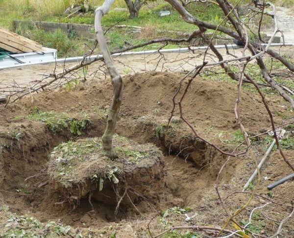 Пересадка винограда с комом земли