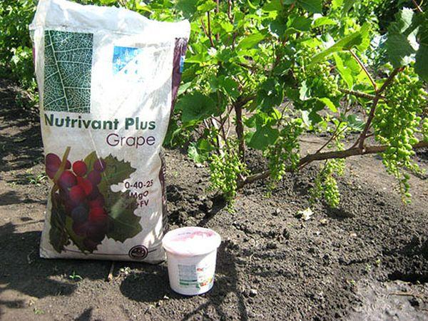 Первая подкормка винограда производится не ранее, чем через 3 года после посадки