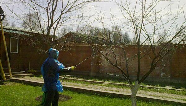 Опрыскивание стволов вишни