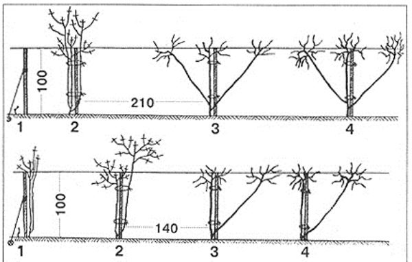 Схема посадки винограда Анюта