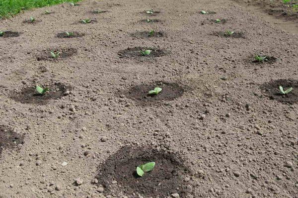 Тыкву высаживают в открытый грунт в конце весны