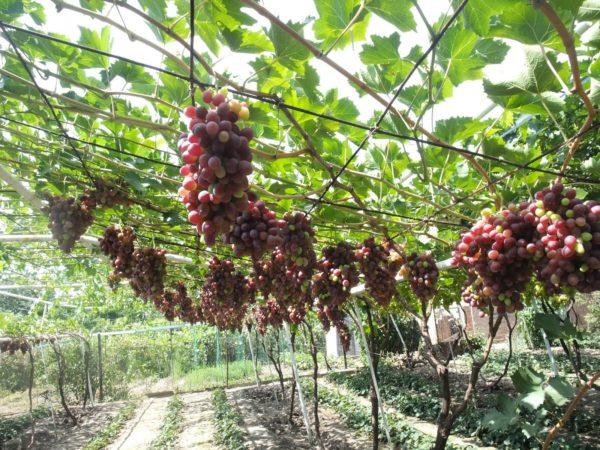 Беседочное выращивание винограда