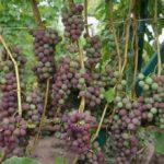 Грозди винограда русский конкорд