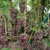 Вырастить виноград из косточек в домашних условиях 11