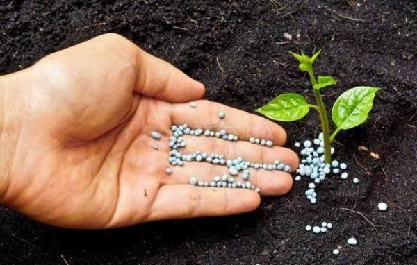 Удобрение растений препаратом фертика в гранулах