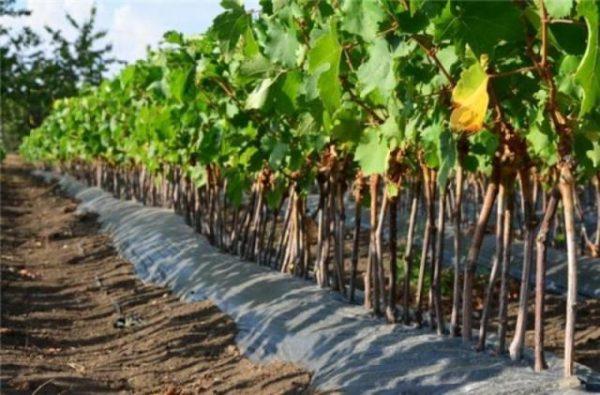 Лоза винограда сорта столетие