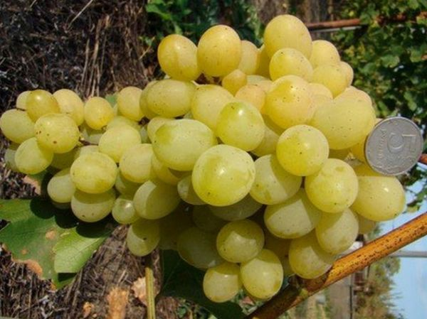 Средний вес грозди сорта 600-800 грамм