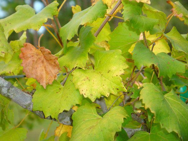 Суперфосфат можно внести если молодые листочки начали желтеть