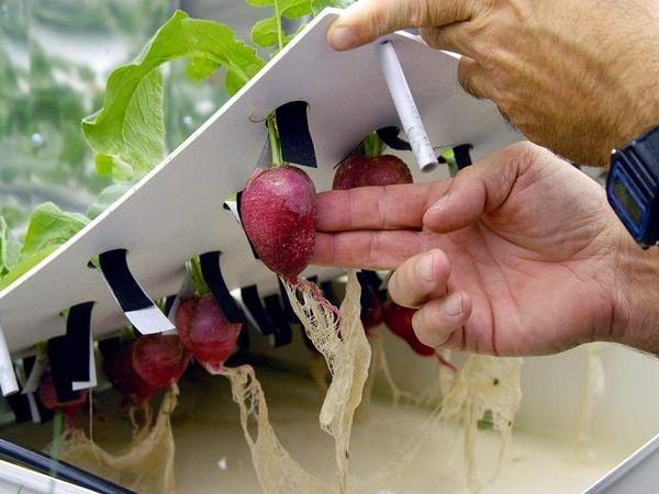 При переводе растений на гидропонику важно не повредить корневую систему