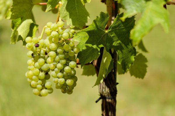 Виноград сорта шардоне на кусте крупным планом