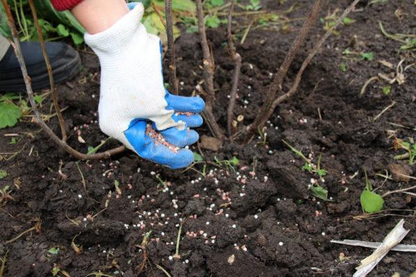 Плодовые деревья и кустарники нуждаются в удобрении после плодоношения