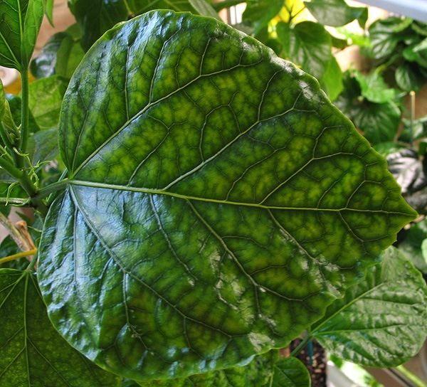 Желтые прожилки на листьях - признак недостатка магния