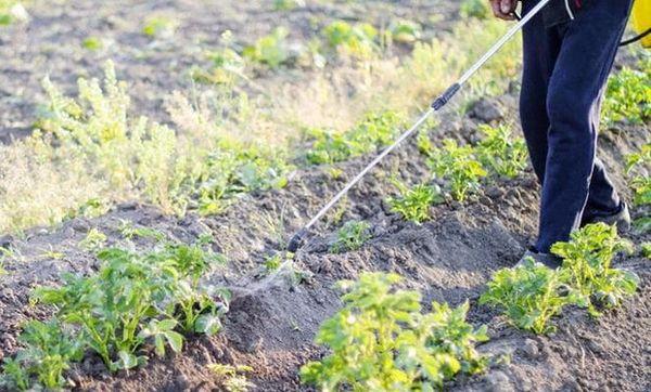 Для опрыскивания растений используется 10 грамм сульфата магния на 10 литров воды