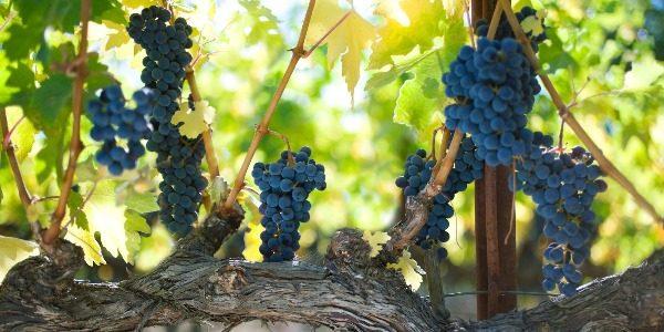 Сорт винограда каберне совиньон