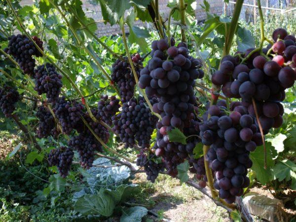 Удаление виноградин на кисти