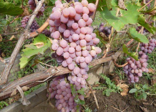 Ягоды винограда сорта Тайфи очень крупные